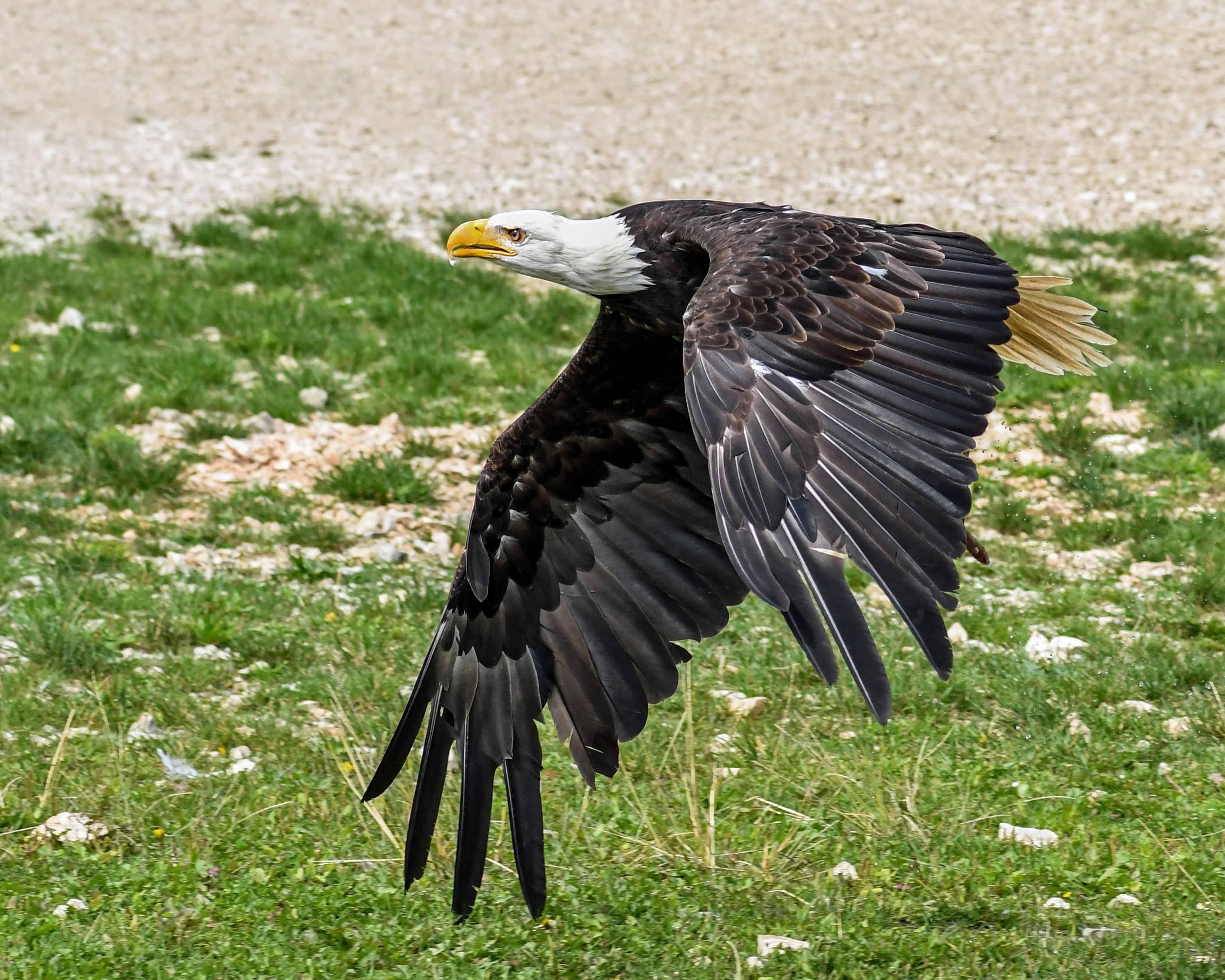 Ραφαέλ αλαλλός μεγάλο πουλί