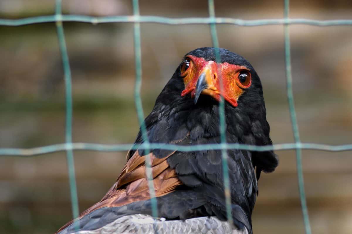 nature, cage, bird, animal, outdoor, ornithology, wildlife, feather, beak