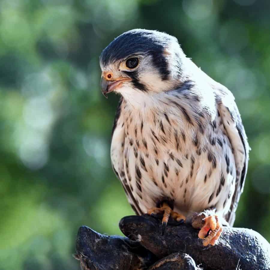 Falco, uccello, animale, fauna selvatica, raptor, natura