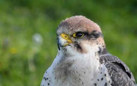 falcon, nature, wildlife, raptor, bird, head