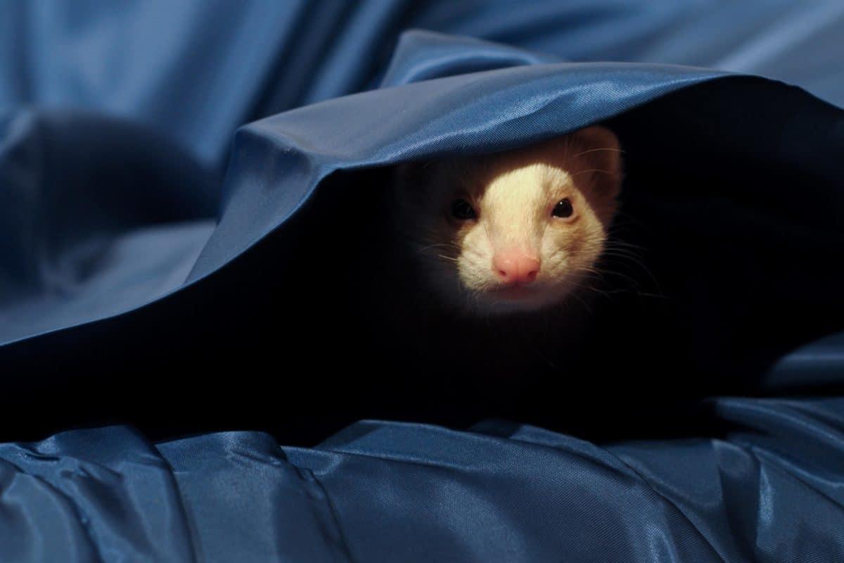 rodent, weasel, blanket, portrait, animal, pet, canvas