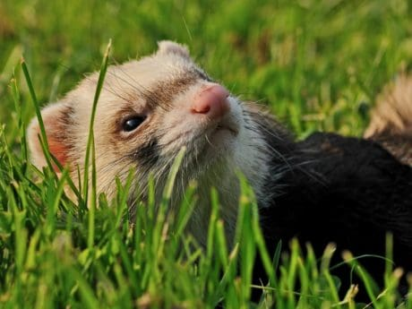 weasel, cute, nature, green grass, animal, outdoor
