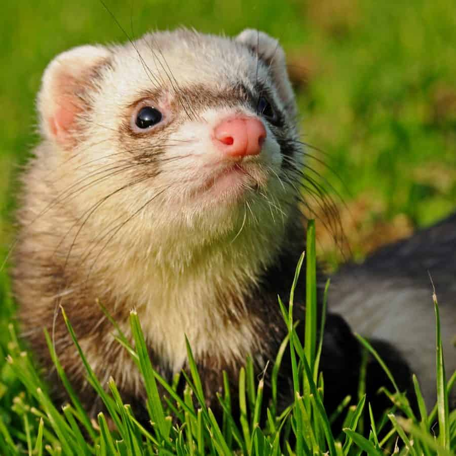 Free Picture Weasel Animal Fur Wildlife Cute Green