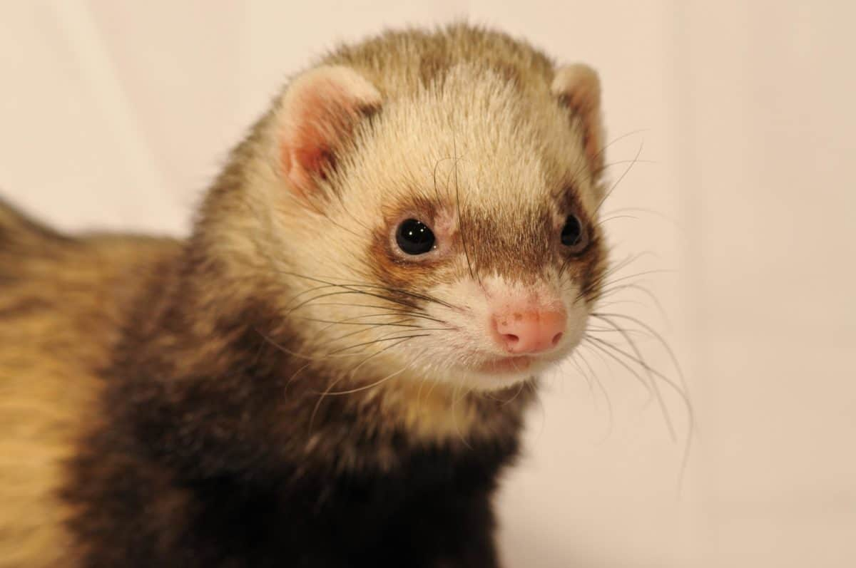 Free Picture Weasel Head Cute Rodent Fur Wildlife