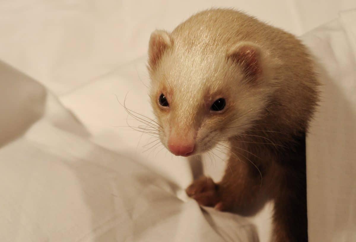 lindo, piel, animal interior, mascotas, roedor