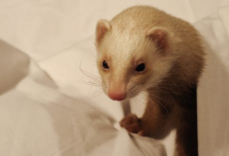 cute, fur, pet, rodent, indoor, animal