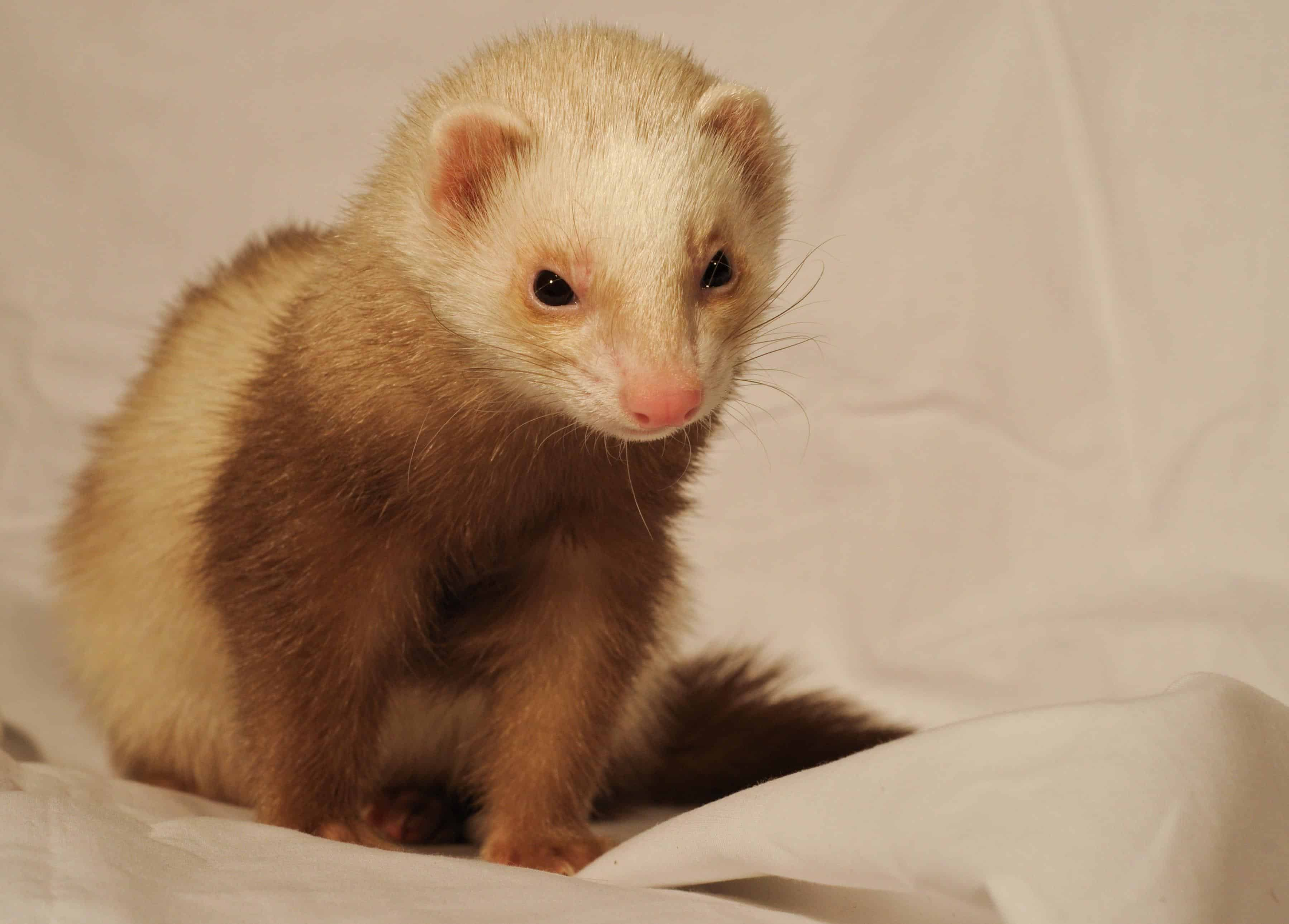 Free Picture Cute Fur Pet Rodent Animal Indoor