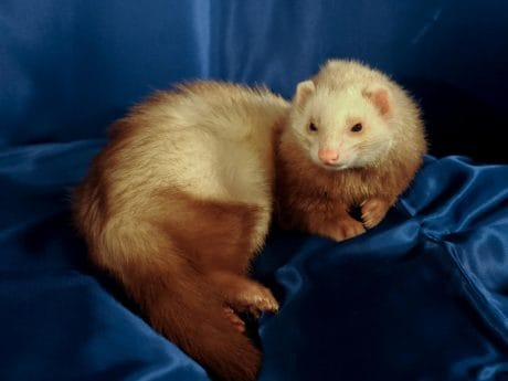 weasel, fur, animal, mammal, pet, canvas