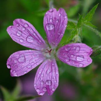 венчелистче, Градина, природа, цвете, лято, флора, листа, трева, макрос