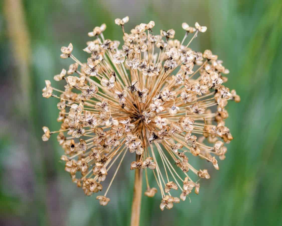 natur, blomst, flora, sommer, frø, plante, herb