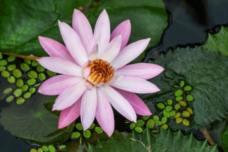 flora, garden, nature, lotus, petal, leaf, flower, aquatic herb