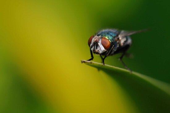 naturaleza, vida silvestre, la mosca insecto, artrópodo, insecto, invertebrado, amcro, detalle