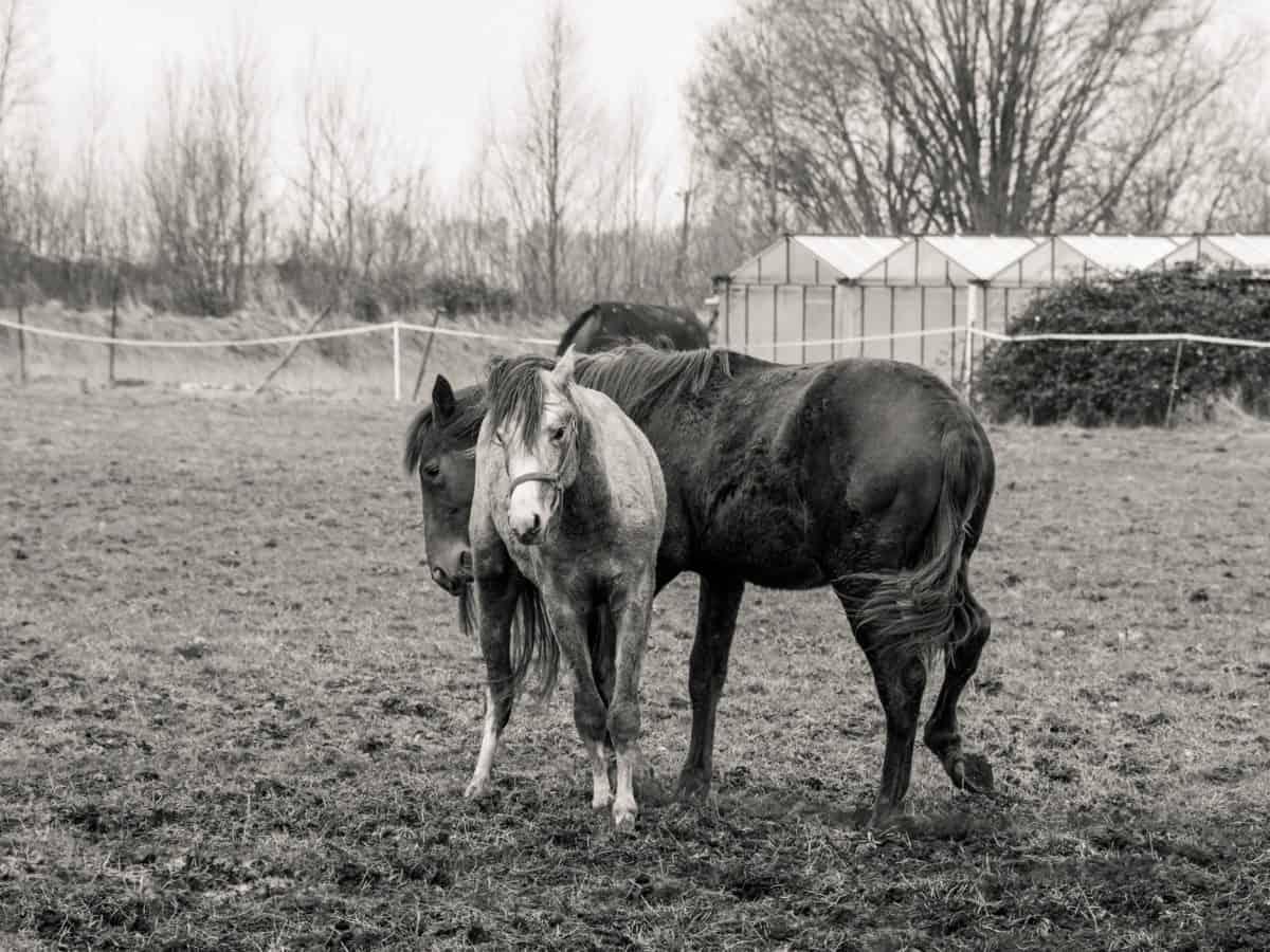 monochromatyczne, kawalerii, zwierząt, koń, ranczo, trawa, łąka