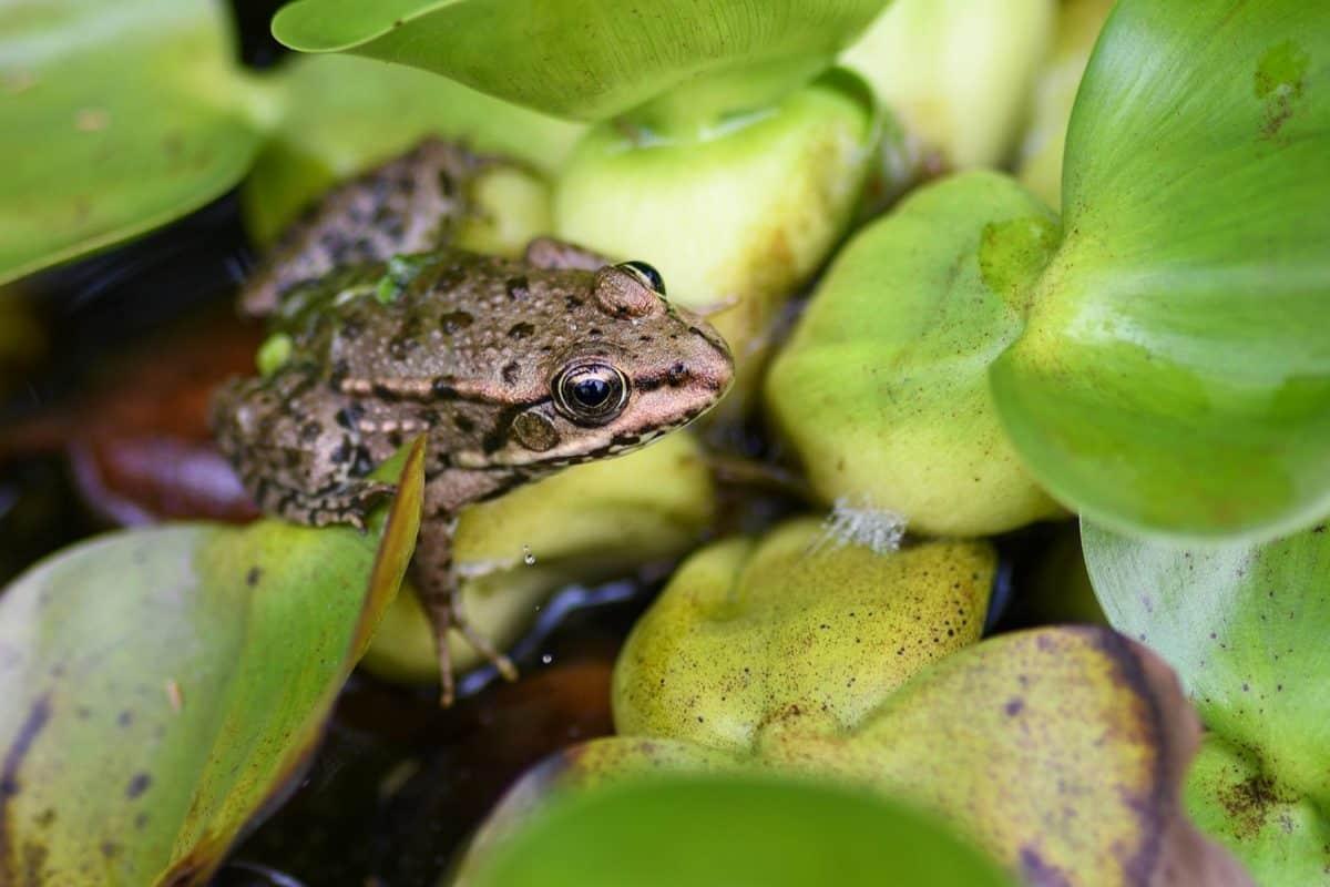 nature, amphibien, amphibiens, eau, feuille, animal