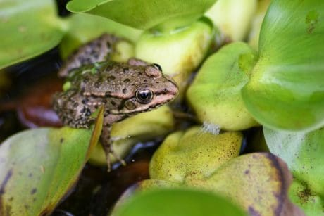 nature, amphibien, amphibiens, eau, feuille, animal