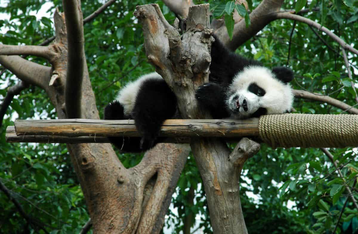 vida silvestre, panda, naturaleza, animales, árbol de madera,
