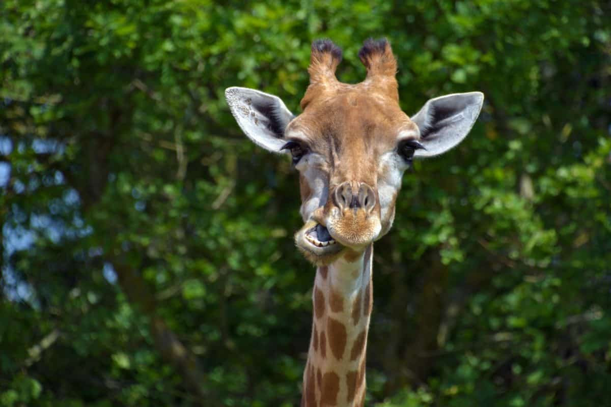 girafe, animal, nature, faune sauvage, des forêts, tête