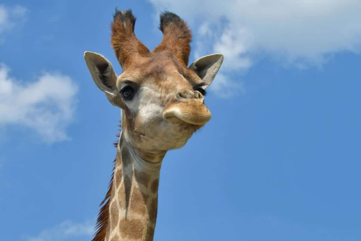 Картинки английскому, прикол картинка жираф
