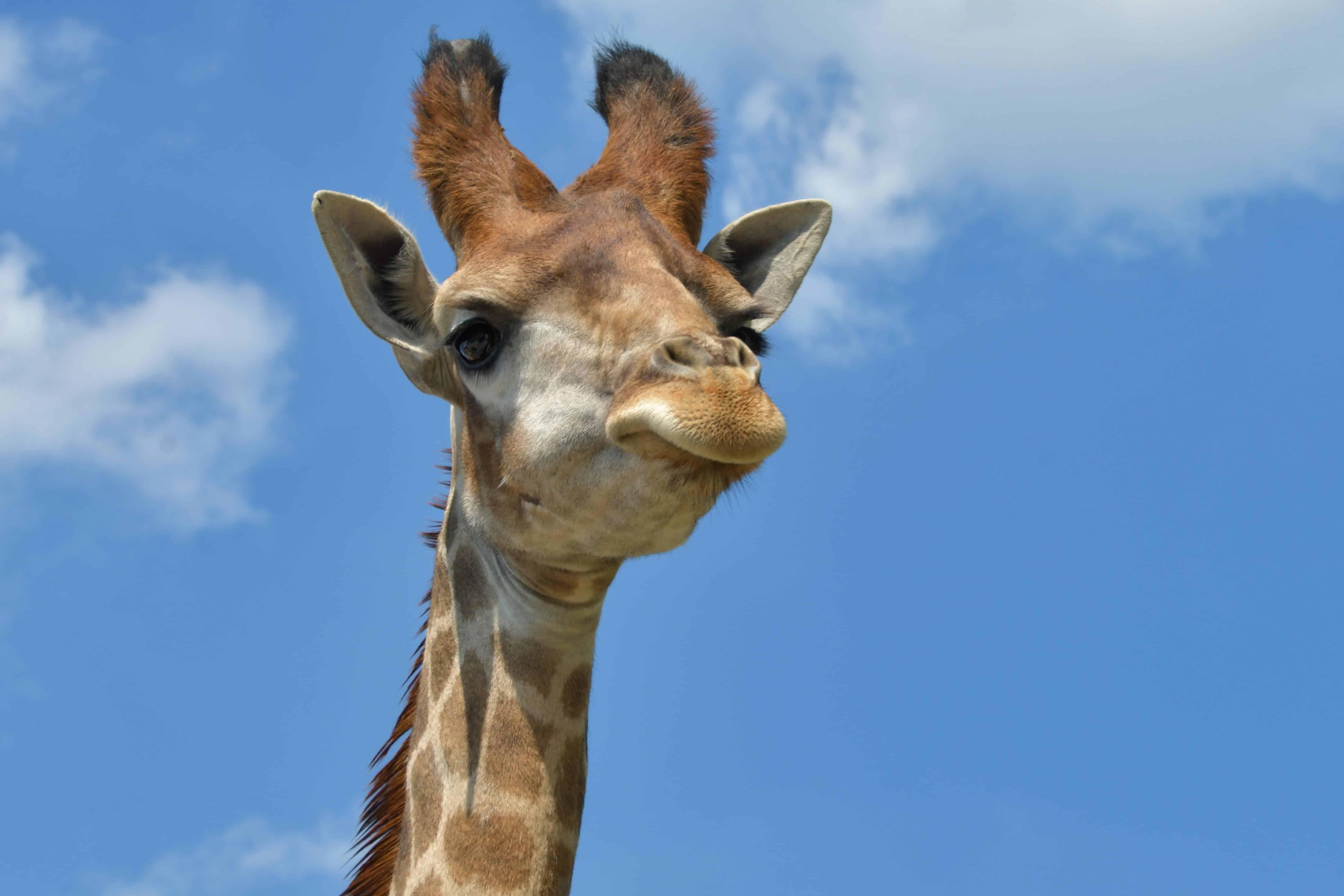 Free picture: wildlife, nature, blue sky, giraffe, animal