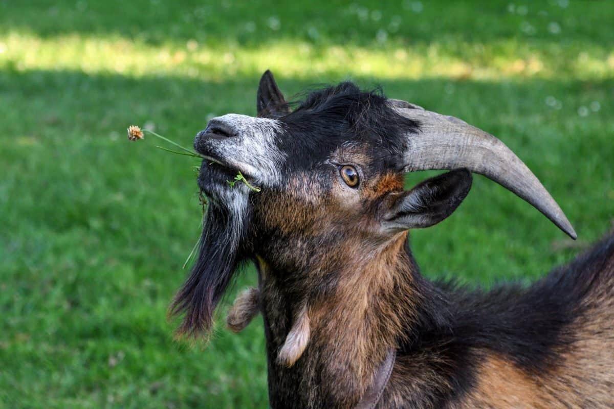 Tier, Rasen, Ziege, Tiere, Natur, horn
