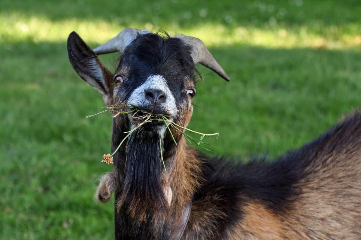 animale, erba, natura, corno, capra, bestiame