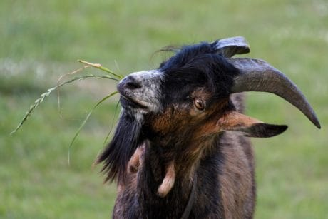nature, grass, animal, outdoor, goat