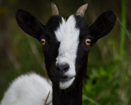cute, goat, animal, livestock, head