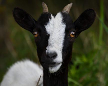 可爱, 山羊, 动物, 牲畜, 头