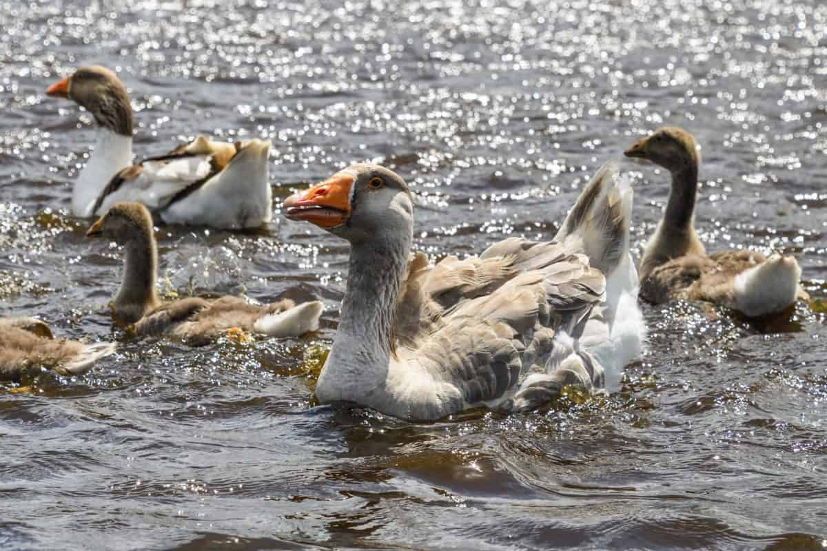 water, poultry, wildlife, goose, duck, bird, animal, waterfowl, sunshine