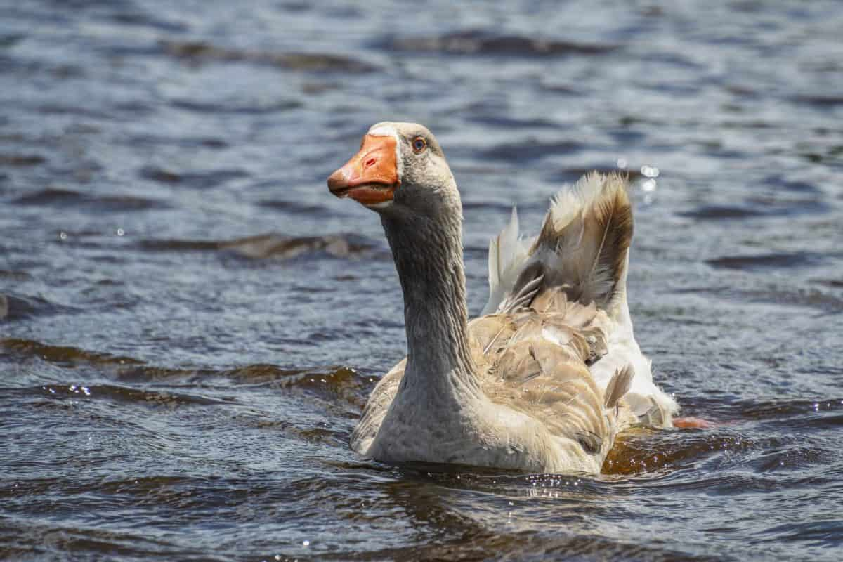 animal, wildlife, bird, water, duck, waterfowl, lake