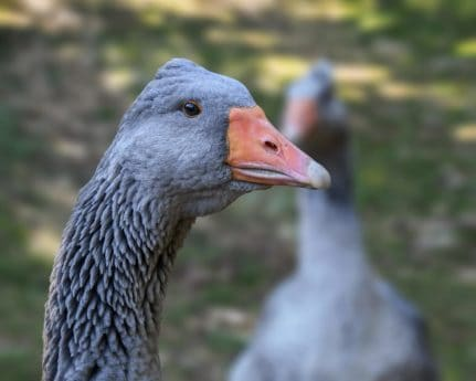 beak, goose, nature, wildlife, bird, poultry, feather
