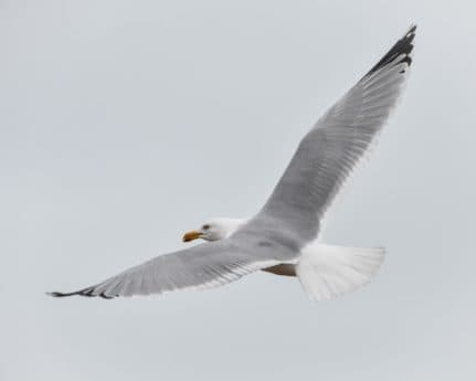 wildlife, bird, flight, seabird, feather, sky, seagull