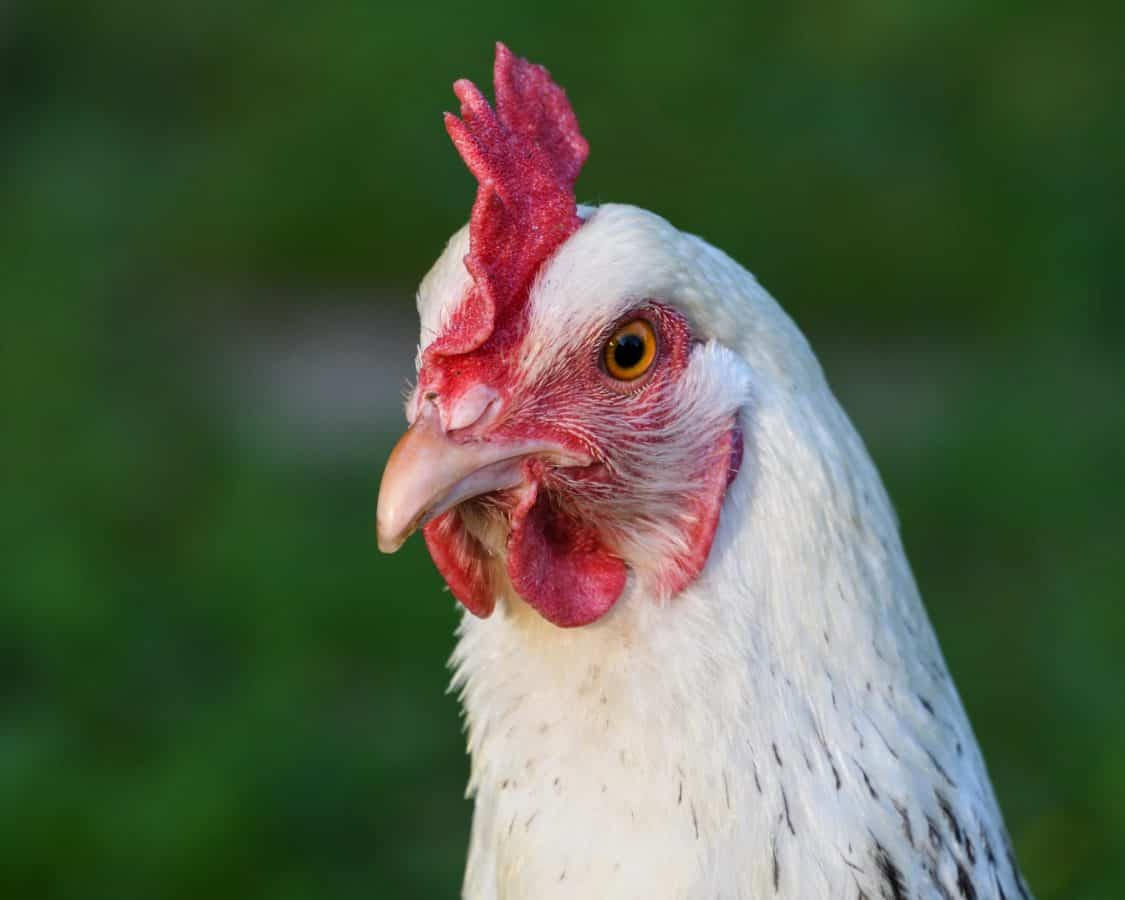 κότα, πουλερικών, πτηνών, φτερό, ράμφος, ζώο, κοτόπουλο
