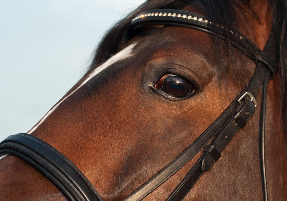 кожа, кавалерия, кон, животно, колан, главата, очите