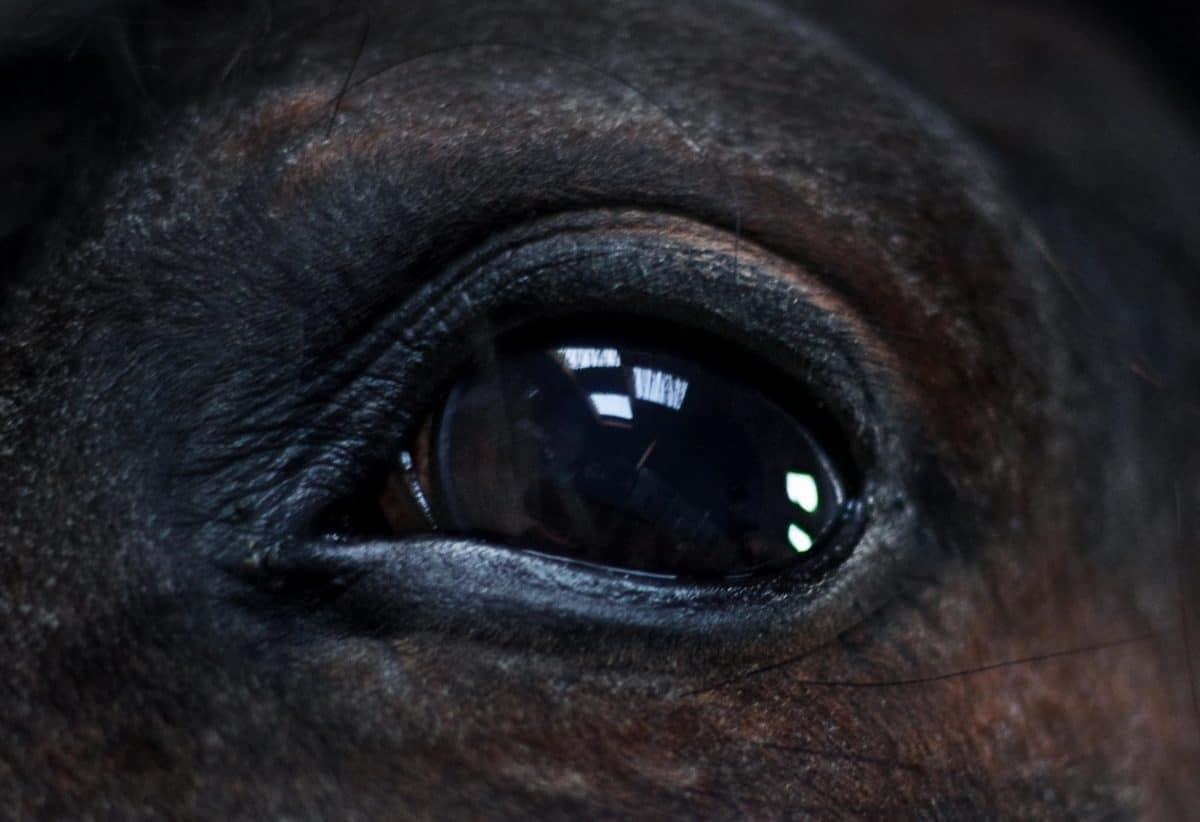dettaglio di occhio, nero, cavallo, animale,