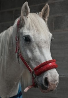 portrait, competition, white horse, animal, head