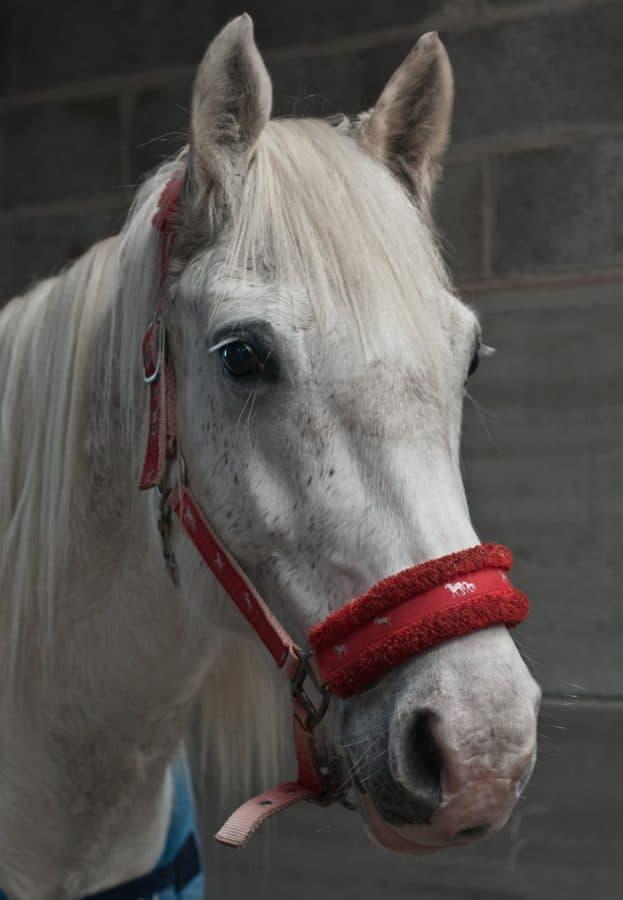 Портрет, конкуренция, бял кон, животно, главата