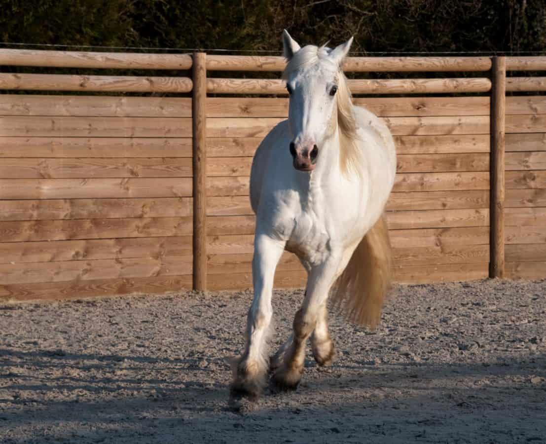 animal, white horse, cavalry, livestock, sport, shadow, sand