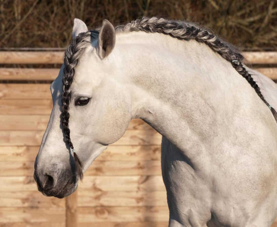 Retrato, caballo blanco, animales, Caballería, naturaleza