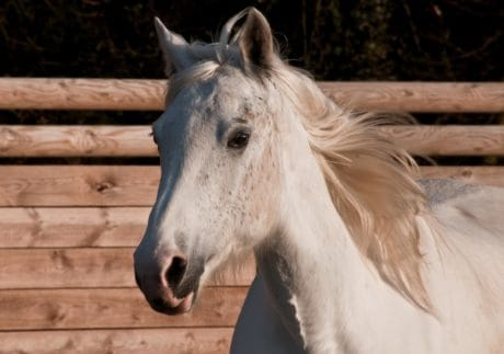 white horse, animal, nature, portrait, cavalry