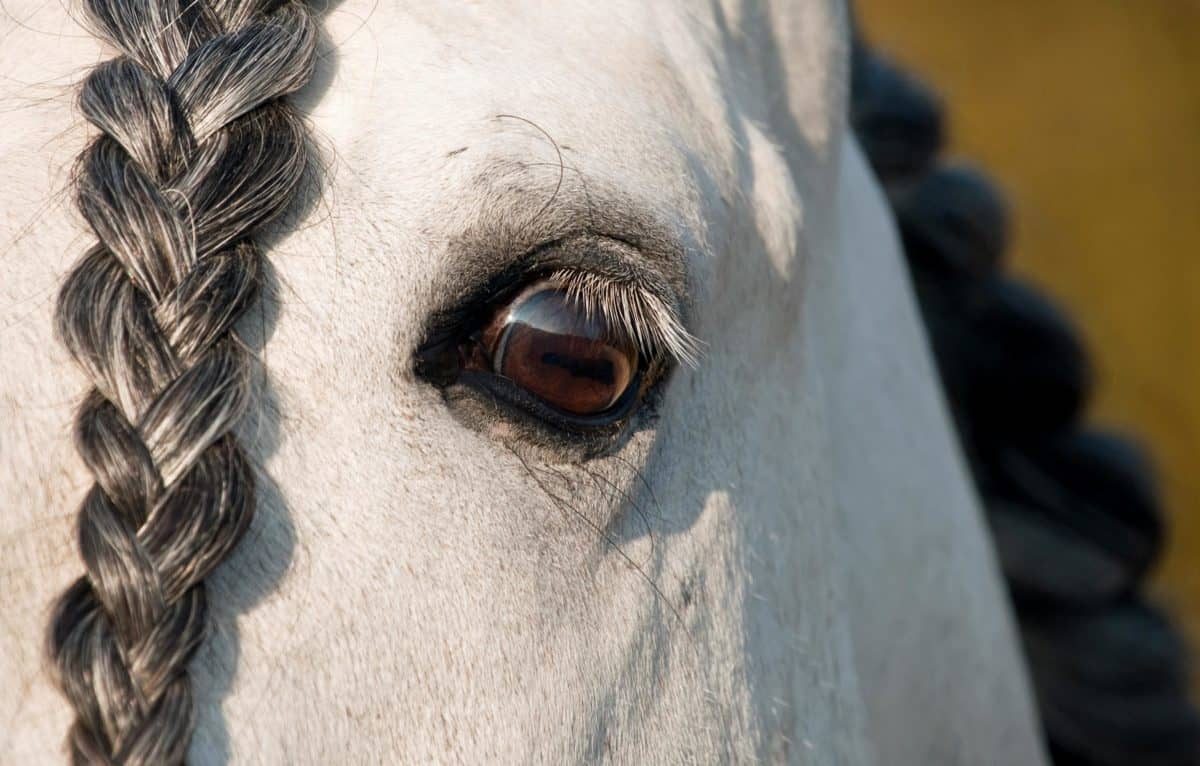 yeux, tête, cheval blanc, animaux