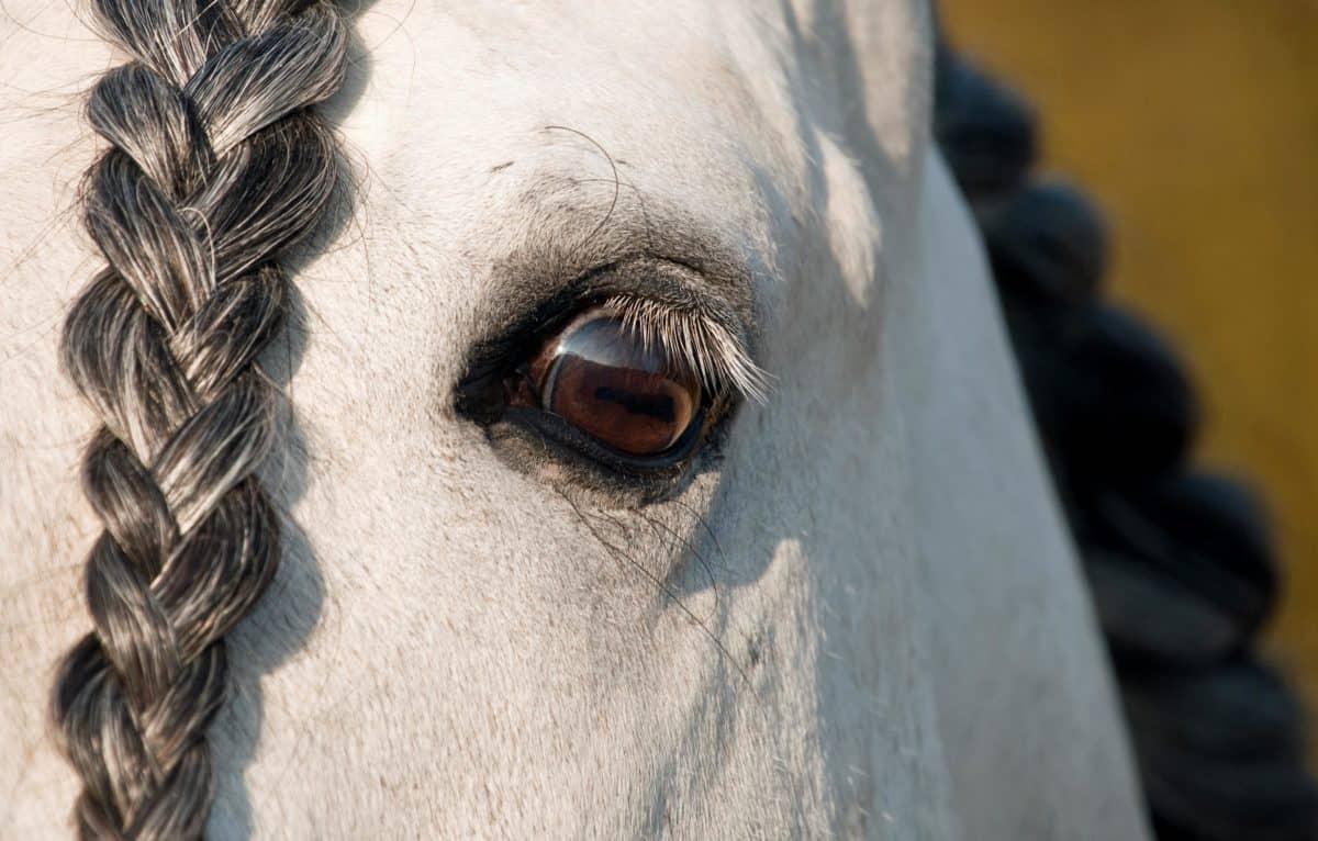 occhio, testa, cavallo bianco, animale