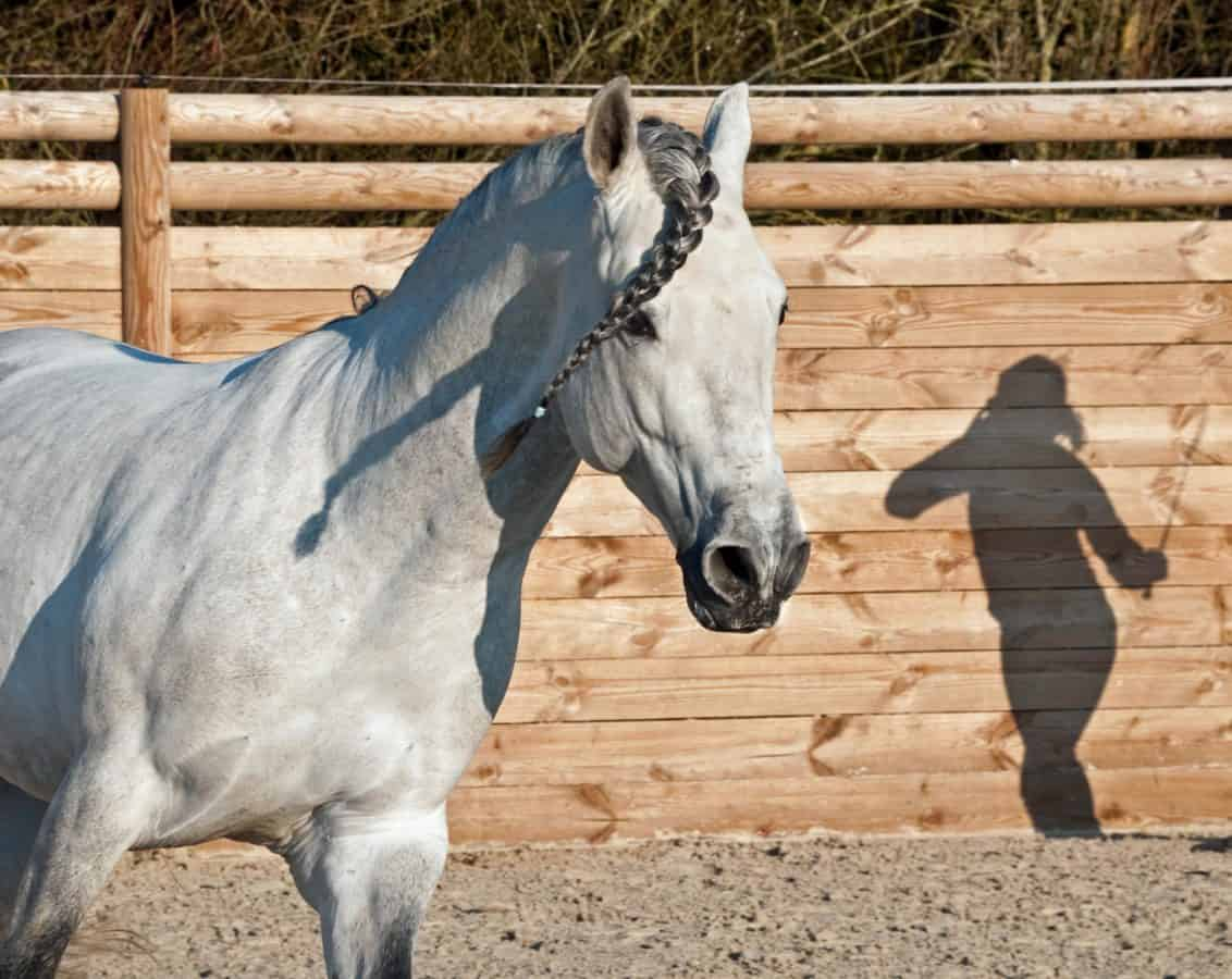 shadow, white horse, livestock, animal, cavalry, fence, ground, outdoor