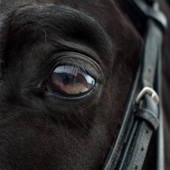 eye, animal, belt, black, head, black horse