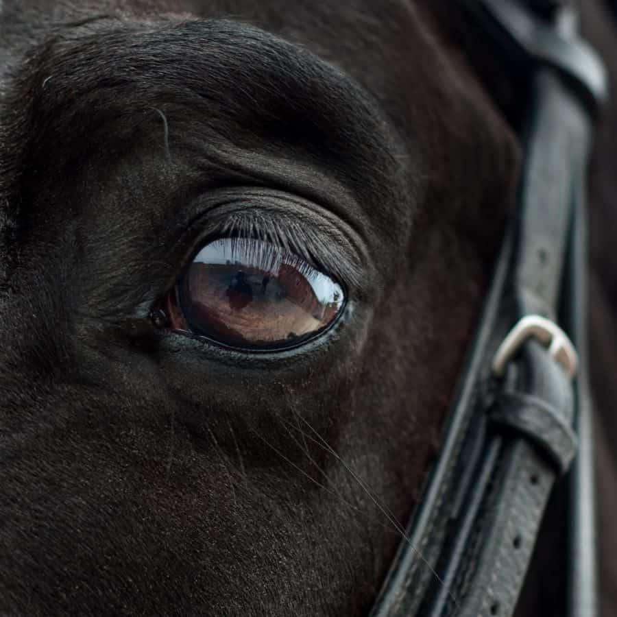 ceinture d'animaux, oeil, noir, cheval de tête, noir