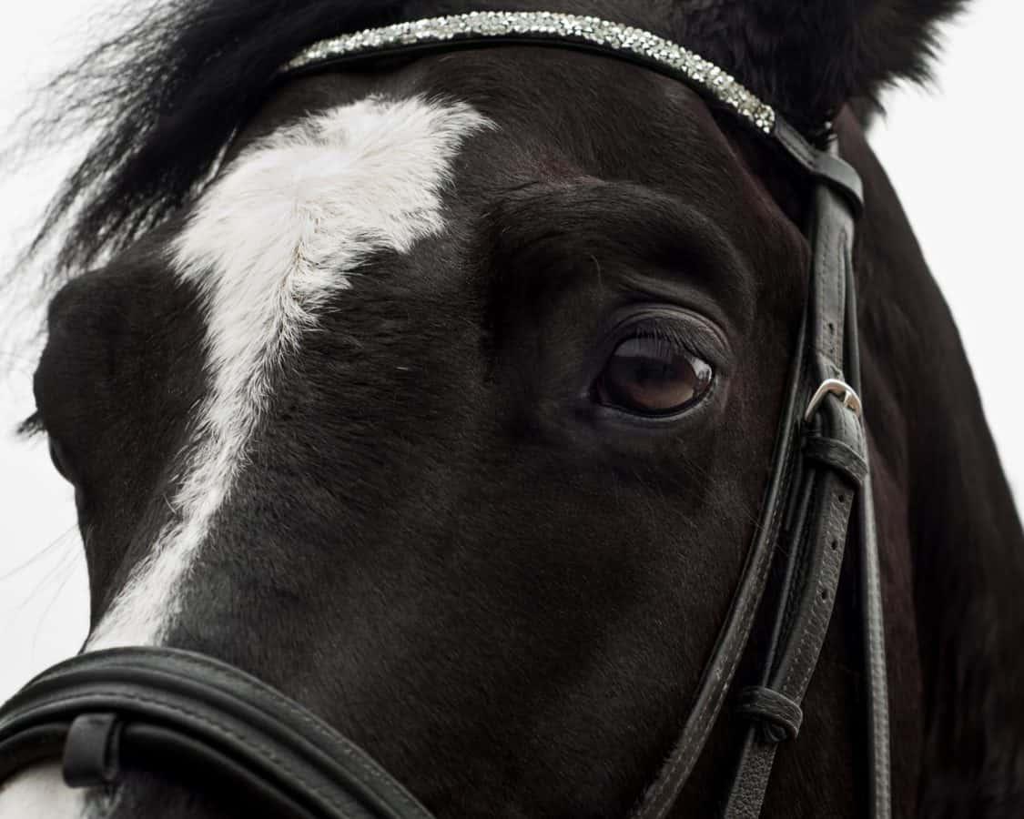 monochrome, oeil, tête, cheval noir, animal, ceinture