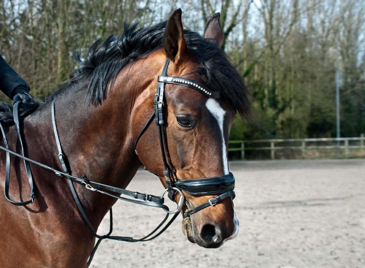 cavallo, animale, marrone, testa, albero, sport, sabbia