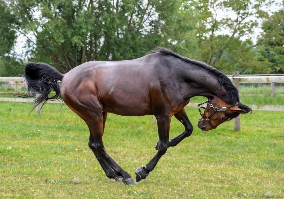 Cavalleria, cavallo, equino, stallion, salto, erba verde, albero, all'aperto