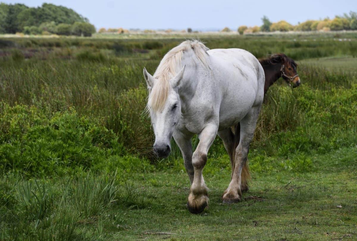 caballo blanco, animales, agricultura, campo, animal, pasto, Caballería, al aire libre