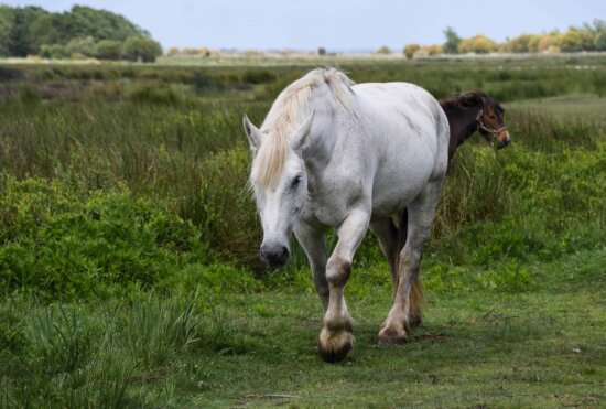 white horse, livestock, agriculture, field, animal, grass, cavalry, outdoor